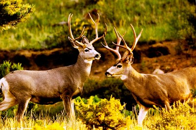 10 Point and 8 Point Bucks