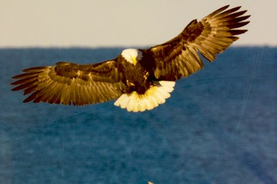 bald eagle catching fish.jpg