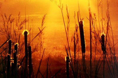cattails in the late evening sun.jpg
