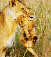 Lioness with Cub, available on educationfoundation.org