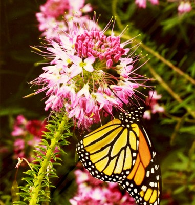 monarch butterfly on a rocky mountain bee flower.jpg