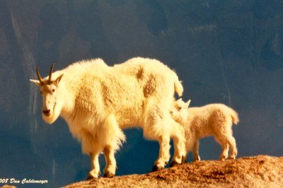 moutain goat with kid.jpg